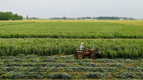 艾草种植收割
